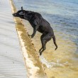 Wet Caribbean Dog — Stock Photo