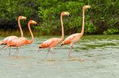 Walking Flamingos — Stock Photo