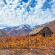Pisco Vineyard — Stock Photo #49836709
