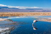Flamenco en lago chaxa — Foto de Stock