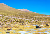 Llama Landscape — Stock Photo
