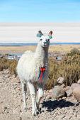Llama with Uyuni Salt Flats — Stock Photo