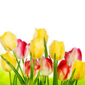 Beautiful tulips isolated on white. EPS 10 — Stock Vector