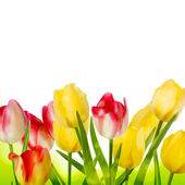 Fresh tulips isolated on white. EPS 10 — Stock Vector