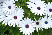 Set of white daisies in a garden — Stock Photo