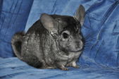 Chinchilla — Foto Stock