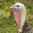 Wild turkey. — Stock Photo