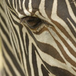 Face of a Grevy - Stock Photo