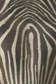 Closeup head zebra — Stock Photo