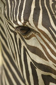 Face of a Grevy — Stock Photo