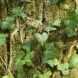 Closeup of an ivy leaves on a tree trunk — Stock Photo #13886626
