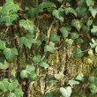 Closeup of an ivy leaves on a tree trunk — Stock Photo #13886631