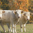 Stock Photo: Three white cow standing on pasture