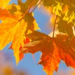 Autumn colorful background of maple leaves — Stock Photo #13886652