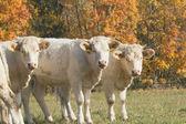 Drie witte koe staande op de weide — Stockfoto