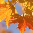Colorful background of maple leaves. — Stock Photo