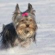 Small yorkshire terrier is running in the snow — Stock Photo #16880501