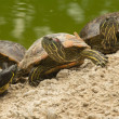 Stock Photo: Beautiful turtle family
