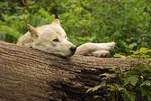 śmieszne biały wilk — Zdjęcie stockowe