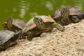 A beautiful turtle family — Stock Photo