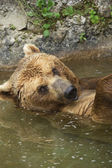 Brown bear taking a bath in the lake. — Stock Photo