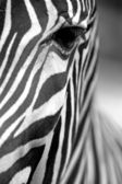 Monochromatic zebra skin texture — Stock Photo