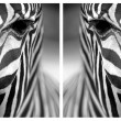 Monochromatic zebra skin texture - Stock Photo