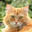 Portrait of a beautiful ginger cat - Stock fotografie