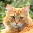 Portrait of a beautiful ginger cat - Stock Photo