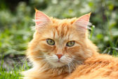 Portrait of a beautiful ginger cat — Stock Photo