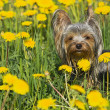 Yorkshire terrier in the dandelion meadow — ストック写真
