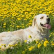 Golden Retriever lying in dandelion meadow — 图库照片 #25337743
