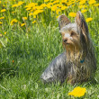 Yorkshire terrier in dandelion meadow — 图库照片 #25337861