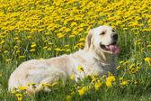 Golden Retriever lying in dandelion meadow — Stock Photo