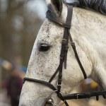 Portrait of white horse — Stock Photo