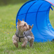Yorkshire Terrier at the agility competition. — Stock Photo