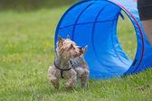 Yorkshire terrier en la competencia de agilidad. — Foto de Stock