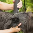 Cutting big black schanuzer dog — Stock Photo