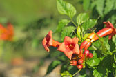 Orange trumpet flower — Stock Photo