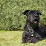 Big Black Schnauzer Dog is lying at the lawn — Stock Photo #31324147