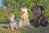Tres perros en el kawn. — Foto de Stock