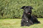 Büyük siyah schnauzer köpek çim yalan söylüyor — Stok fotoğraf