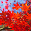 Red maple leaves. — Stock Photo