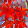 Red maple leaves. Vertically. — Stock Photo