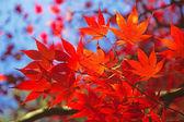 Kırmızı akçaağaç yaprağı. — Stok fotoğraf