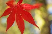 Red maple leaf. Horizontally. — Stockfoto