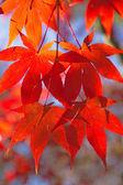 Red maple leaves. Vertically. — Zdjęcie stockowe