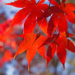 Red maple leaves. Horizontally. — Stock Photo