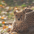 Постер, плакат: Close up view of lying cheetah