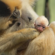 Close up view of monkey animal baby — Stock Photo